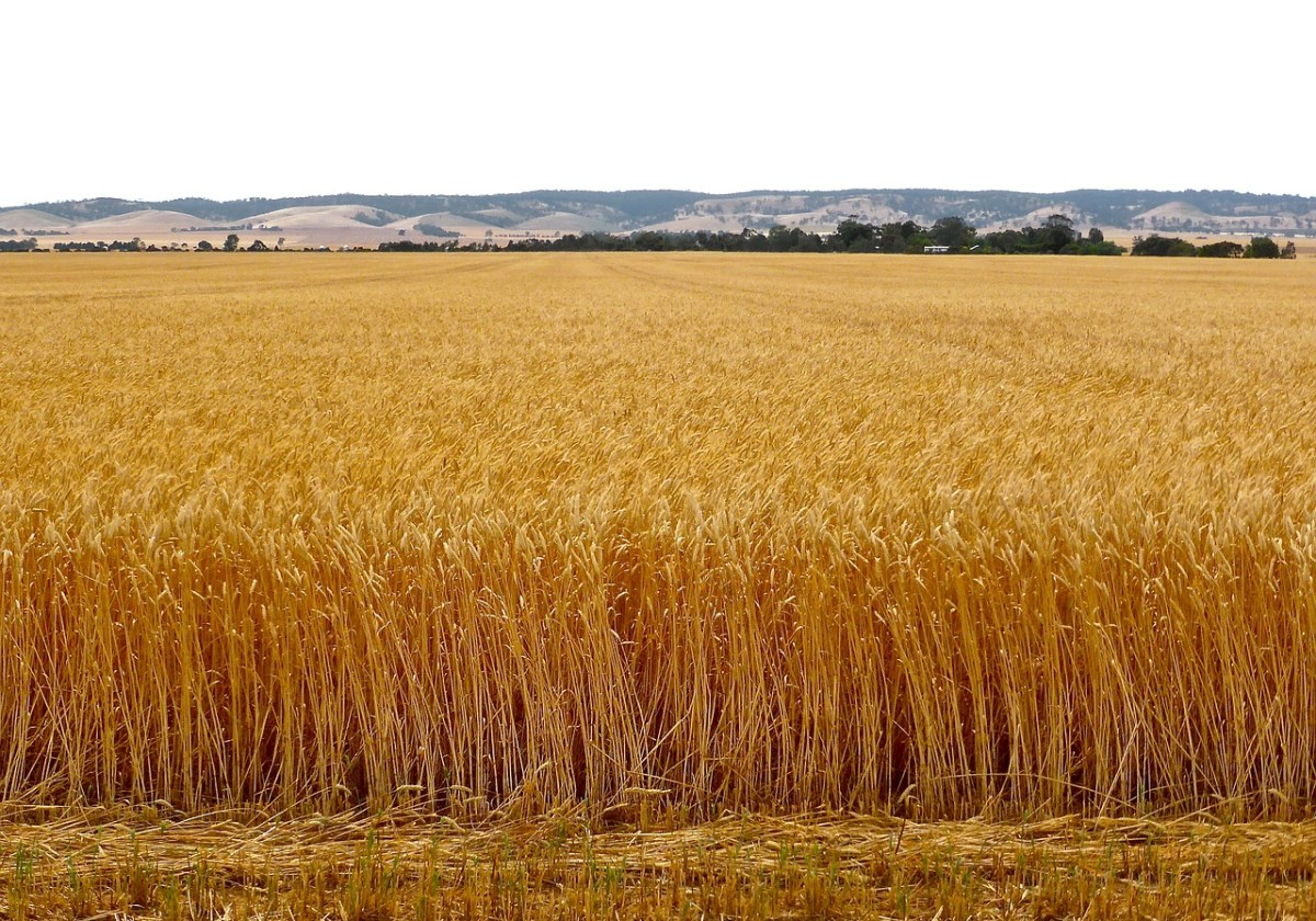 Russian wheat crop outlook worsens on hot weather