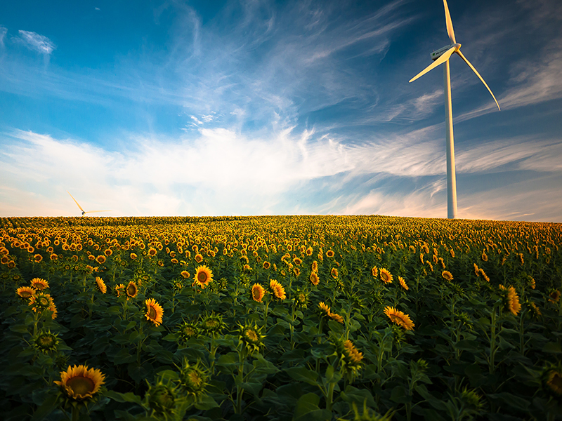 A field of sunflowers with windmills.
