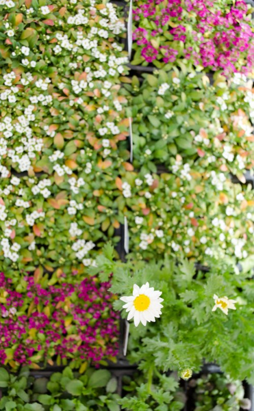 Dahlberg daisies and alyssum