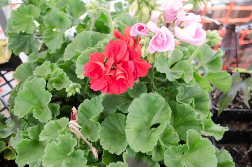 Pretty red and pink geraniums