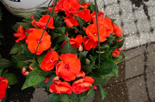 Orange Begonias in a Hanging Basket