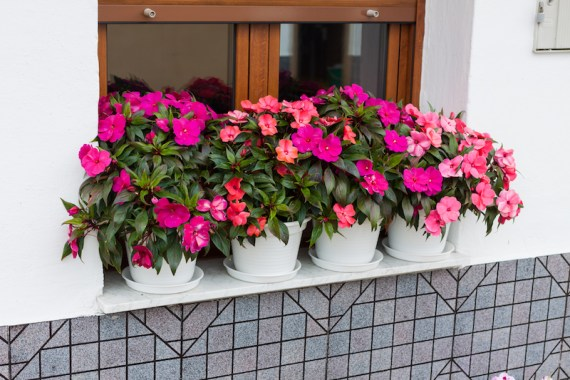 New Guinea Impatiens growing on windowsill