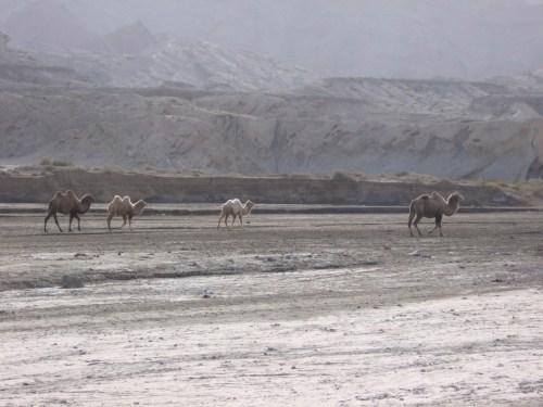 free-range camels
