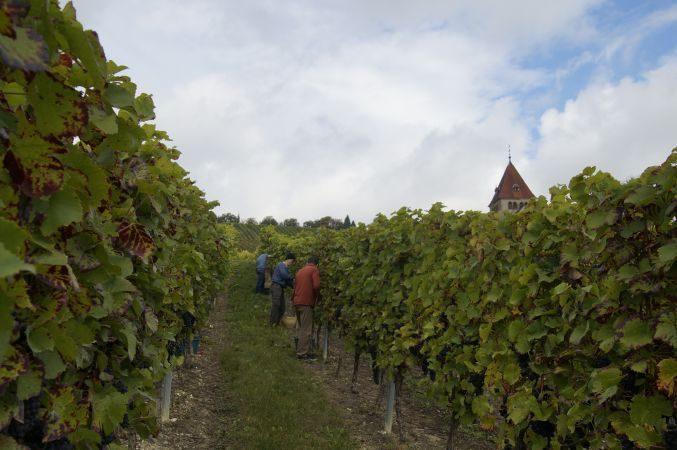 Weinlese in Gau-Bickelheim, Rheinhessen