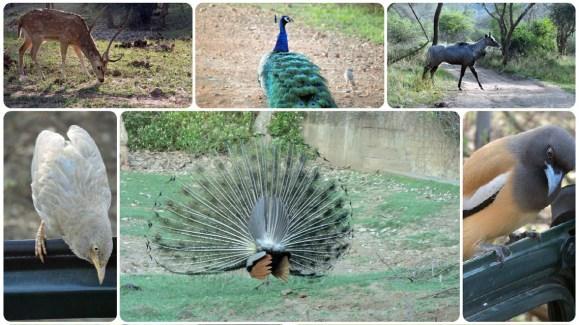 diversity-of-birds-and-animals-in-Sariska-Tiger-Reserve