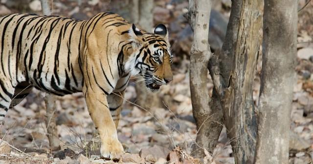 Image Name - jim corbett national park tiger safari