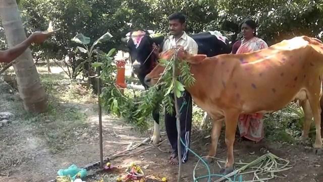 Maatu Pongal