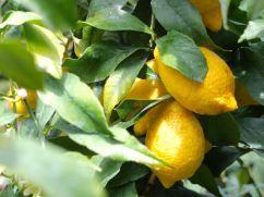 Meyer Zitronen