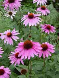 Gyógynövényt a kertbe