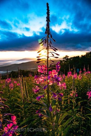 Flowers during a sunrise seen from Stratton Mountain