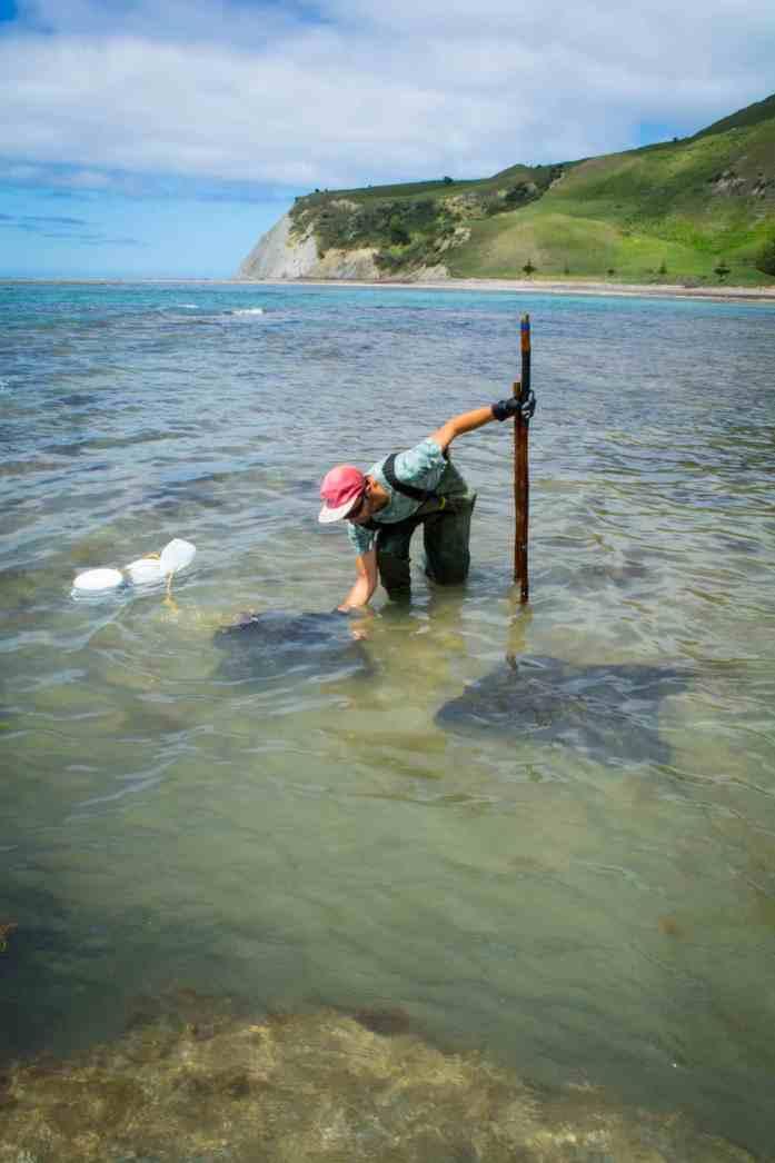 Stingrays at Te Tapuwae O Rongokako Marine Reserve, Dive Tatapouri - Stray East Coaster