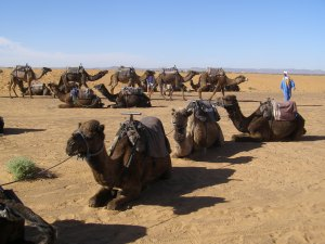 camels-at-rest