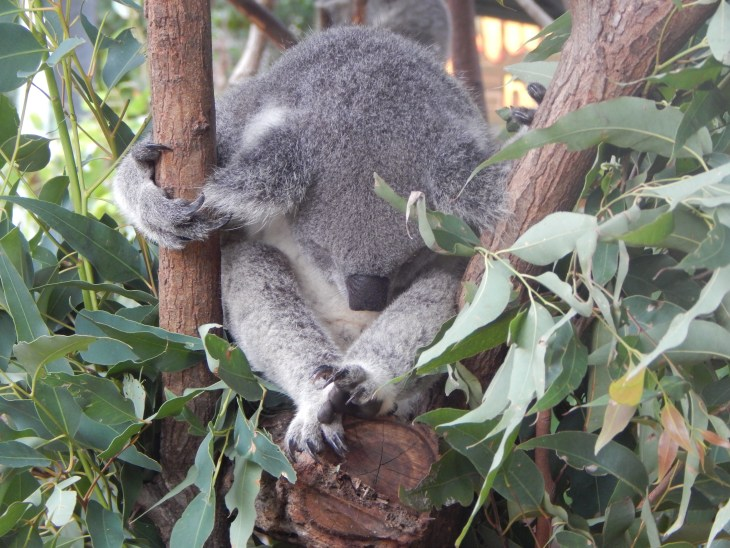I loved the position that this koala was sitting in and had to take a photo. This is one of my favorite koala photos.