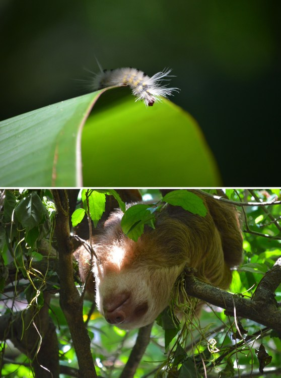 Not all of the wildlife at the Rescue Center was rescued, this caterpillar made a beautiful appearance at the start of our tour. A perfect example of the daily life of a sloth.
