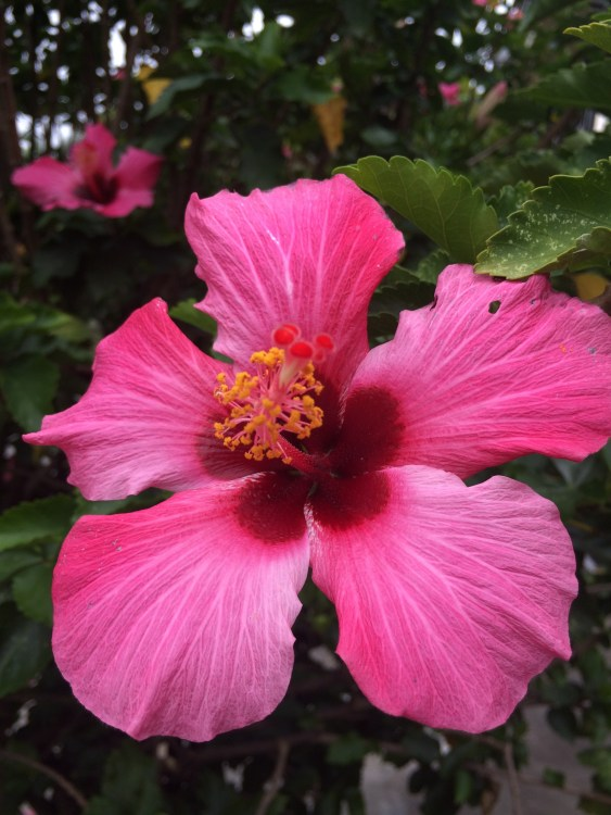 Hibiscus Flower, Heredia, Costa Rica, Joyce, Photo 9