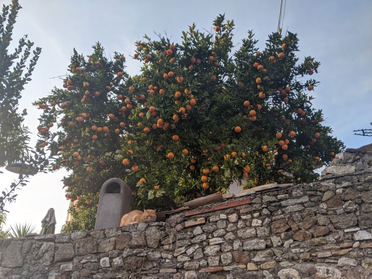 orange tree behind stone wall, with cat laying on top