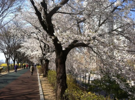 five_spring_festivals_south_korea_cherry_blossoms