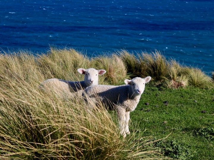 Sheep by the shore