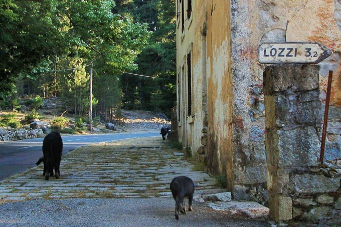 loslopend wild in corsica