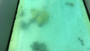 Although, it is hard to tell this is Brain Coral. It was taken through Plexiglas, hence the blurriness of the photo.
