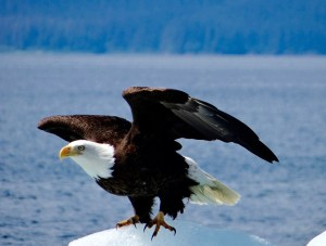 Eagle with Wings Open