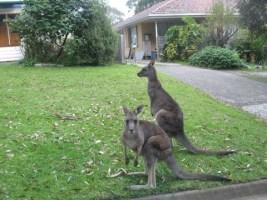 kangaroo 3