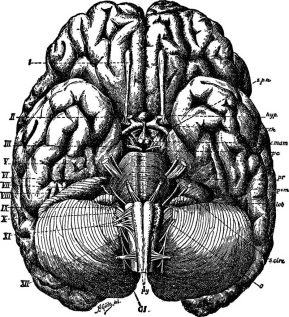 An anatomically drawn brain.