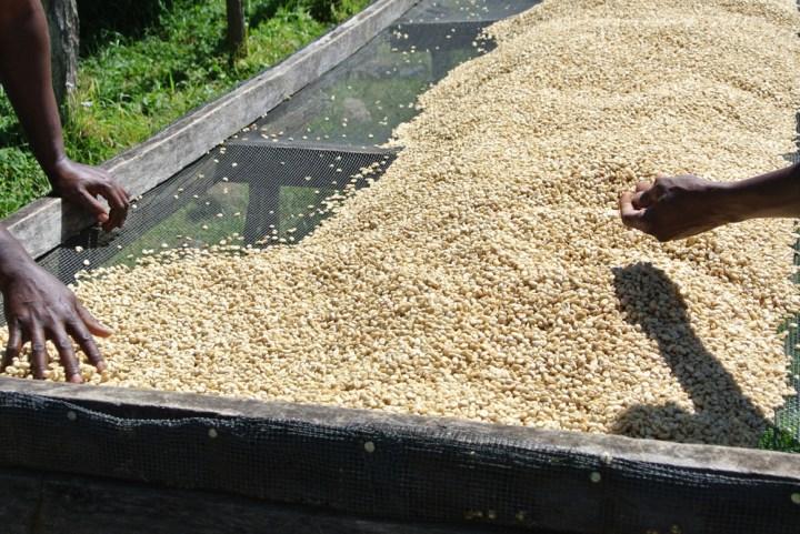 Coffee-processing-sorting