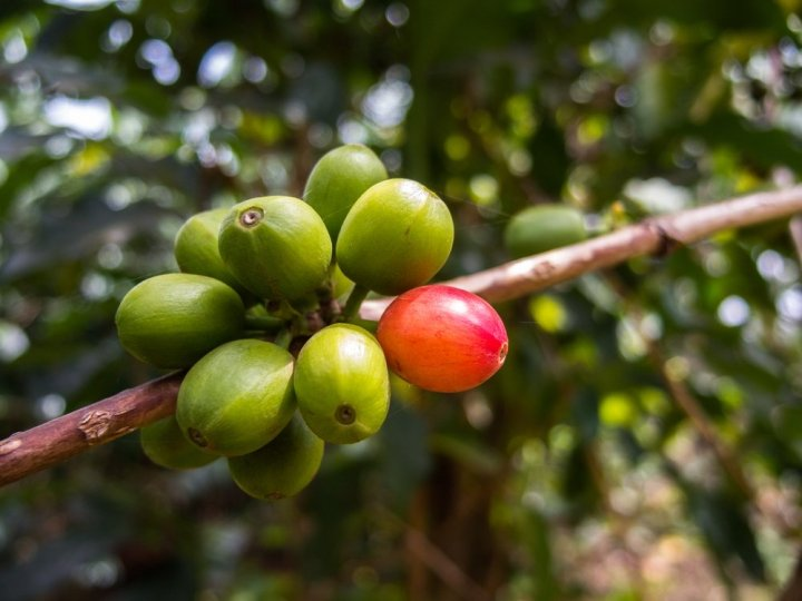 Kenya-AA-fruit