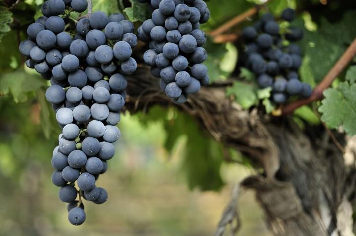 Malbec-Grapes