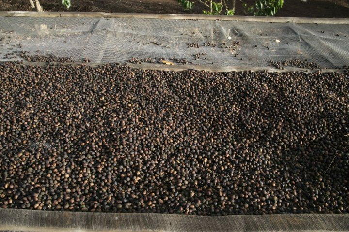 Peaberry-drying