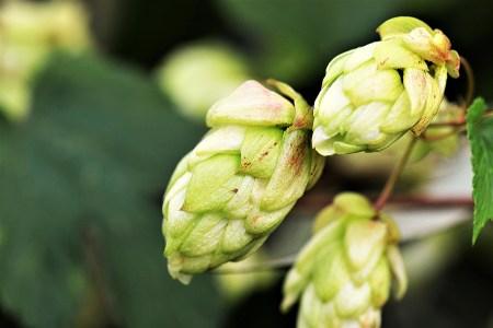 Hops flowers, beer flower