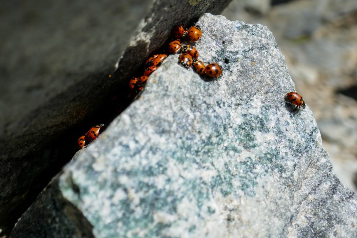 It's not uncommon to find lady bugs, gathered by the 100's at the very summits of these 11-12,000' peaks.
