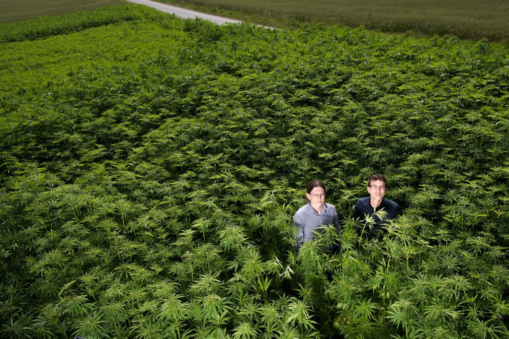 Kiffen ohne Rausch: Die Stadt Zürich überlegt, jugendlichen Problemkiffern Cannabis abzugeben. Die Pflanzenzüchter Patrick Widmer und Mike Toniolo (rechts) halten THC-armen Hanf für die bessere Alternative. (Foto: Urs Jaudas) Zum Arikel