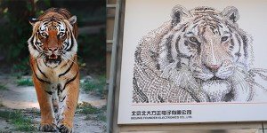 China Tiger