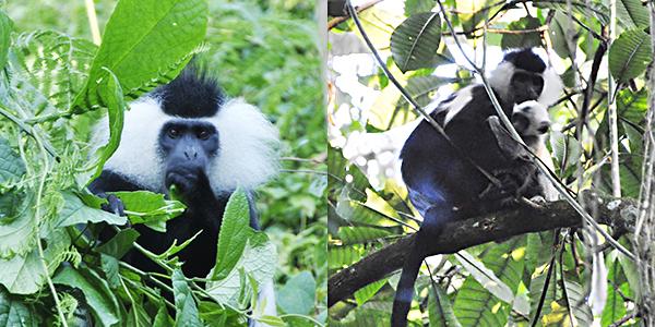 angolin-colobus-and-baby