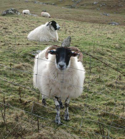 Blackface Ram Scotland