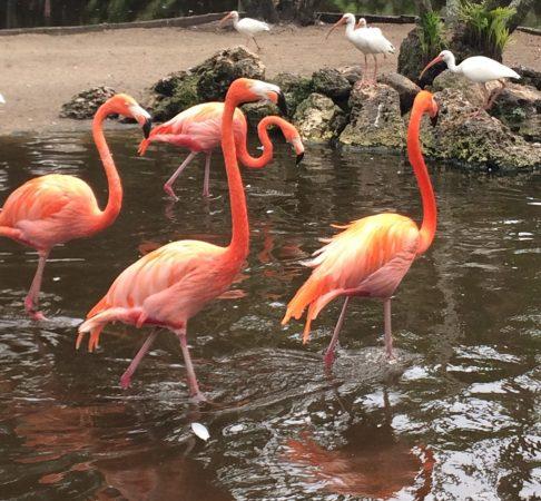 Miami Flamingos