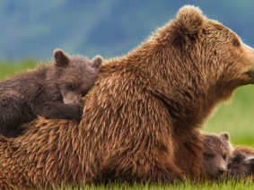 The misunderstood grizzly: A TED-Ed conversation on why brown bears deserve respect, not fear