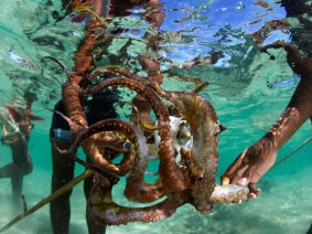 Octopus's garden: A TED Fellow with a radical approach to saving fisheries