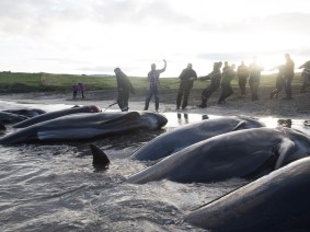 Tradition or travesty? A TED Fellow's documentary investigates the complexities of whale hunting in the Faroe Islands