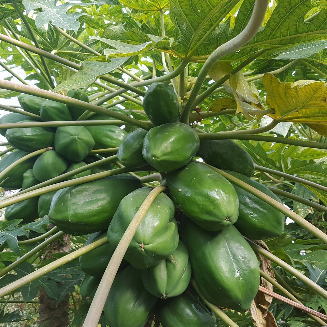 Papayas. Tenerife island - Canary Islands.