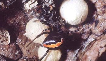 The biting truth about white-tailed spiders   Te Papa's Blog