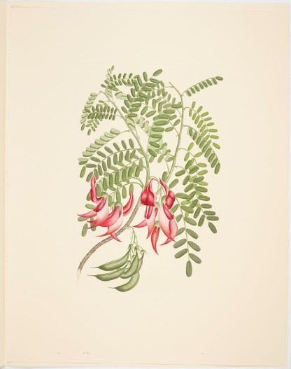 Clianthus puniceus (G. Don) Banks & Solander ex Lindley; Plate 432