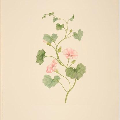 Calystegia tuguriorum (G. Forster) R. Brown ex Hooker f.; Plate 512