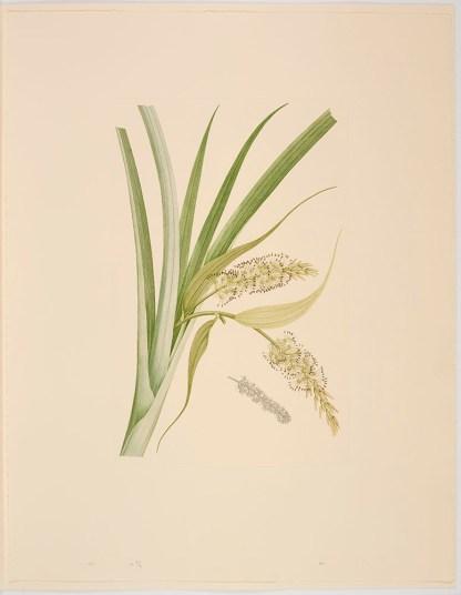 Collospermum hastatum (Colenso) Skottsberg; Plate 557