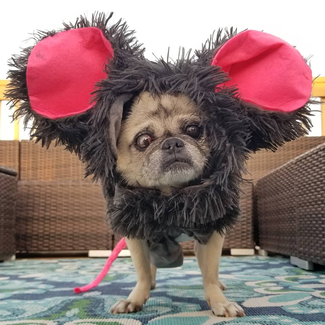 Dog dressed as rat