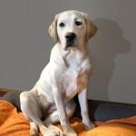 Lab puppy sitting