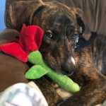 Dog with rose toy