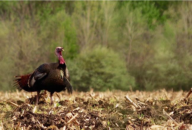 tom turkey enting a field showing his beard